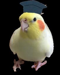 オカメインコ オレンジチークのきなこちゃん【きなこのお父さんのHOW TO BIRD】